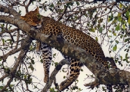 African Wildlife in Kenya :: Napping Leopard
