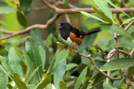 Birds :: rufous-sided towhee singing